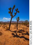Joshua Tree National Park Yucca Valley in Mohave desert California USA (2013 год). Стоковое фото, фотограф Tono Balaguer / Ingram Publishing / Фотобанк Лори