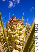 Yucca brevifolia flowers in Joshua Tree National Park California USA (2013 год). Стоковое фото, фотограф Tono Balaguer / Ingram Publishing / Фотобанк Лори