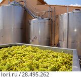 Купить «Chardonnay winemaking with grapes and Fermentation stainless steel tanks vessels», фото № 28495262, снято 4 сентября 2013 г. (c) Ingram Publishing / Фотобанк Лори