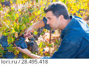 Купить «Mediterranean vineyard harvest farmer farming cabernet sauvignon grape field in Spain», фото № 28495418, снято 17 октября 2013 г. (c) Ingram Publishing / Фотобанк Лори