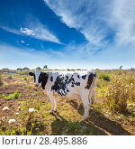 Купить «Menorca friesian cow grazing near Ciutadella Balearic Islands cattle», фото № 28495886, снято 25 мая 2013 г. (c) Ingram Publishing / Фотобанк Лори
