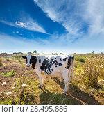 Menorca friesian cow grazing near Ciutadella Balearic Islands cattle. Стоковое фото, фотограф Tono Balaguer / Ingram Publishing / Фотобанк Лори