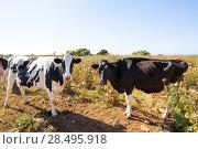Menorca friesian cows cattle grazing near Ciutadella Balearic Islands. Стоковое фото, фотограф Tono Balaguer / Ingram Publishing / Фотобанк Лори