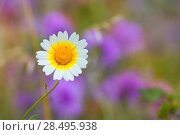 Купить «Menorca spring daisy white and yellow wild flowers in Balearic islands», фото № 28495938, снято 27 мая 2013 г. (c) Ingram Publishing / Фотобанк Лори