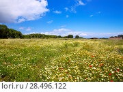 Купить «Menorca spring field with poppies and daisy flowers in Balearic Islands», фото № 28496122, снято 30 мая 2013 г. (c) Ingram Publishing / Фотобанк Лори