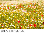 Купить «Menorca spring field with poppies and daisy flowers in Balearic Islands», фото № 28496126, снято 30 мая 2013 г. (c) Ingram Publishing / Фотобанк Лори