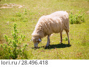 Купить «Sheep grazing grass in Menorca Balearic islands», фото № 28496418, снято 25 мая 2013 г. (c) Ingram Publishing / Фотобанк Лори