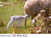 Купить «Mother sheep and baby lamb grazing in Menorca field», фото № 28496422, снято 25 мая 2013 г. (c) Ingram Publishing / Фотобанк Лори