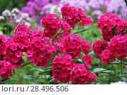 Купить «Флокс (Phlox). Группа цветущих растений», фото № 28496506, снято 20 августа 2017 г. (c) Ольга Сейфутдинова / Фотобанк Лори