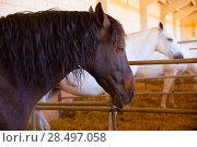 Купить «Horses in a row at cattle fair in Spain beautiful portrait», фото № 28497058, снято 6 октября 2013 г. (c) Ingram Publishing / Фотобанк Лори