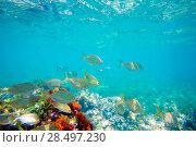 Купить «Mediterranean underwater with salema fish school in spain», фото № 28497230, снято 22 августа 2013 г. (c) Ingram Publishing / Фотобанк Лори