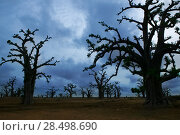 Купить «Africa Baobab trees in a cloudy gray day», фото № 28498690, снято 22 июля 2006 г. (c) Ingram Publishing / Фотобанк Лори