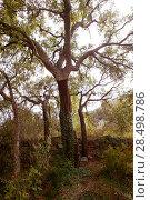 Купить «Cork oak tree with nuded trunk in Espadan mountain Castellon Spain», фото № 28498786, снято 19 апреля 2005 г. (c) Ingram Publishing / Фотобанк Лори