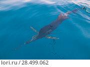 Купить «Sailfish sportfishing close to the boat with fishing line under surface», фото № 28499062, снято 24 июля 2006 г. (c) Ingram Publishing / Фотобанк Лори