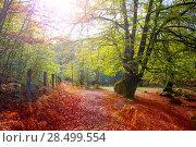 Купить «Autumn Selva de Irati fall beech jungle in Navarra Pyrenees of Spain», фото № 28499554, снято 3 ноября 2013 г. (c) Ingram Publishing / Фотобанк Лори