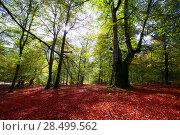 Купить «Autumn Selva de Irati fall beech jungle in Navarra Pyrenees of Spain», фото № 28499562, снято 3 ноября 2013 г. (c) Ingram Publishing / Фотобанк Лори