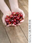 Купить «Man's hands handful showing ripe organic cherries», фото № 28500518, снято 7 июня 2013 г. (c) Ingram Publishing / Фотобанк Лори