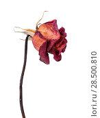 Купить «One dried red rose isolated on a white background», фото № 28500810, снято 8 октября 2013 г. (c) Ingram Publishing / Фотобанк Лори