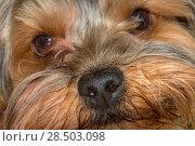 Купить «Портрет щенка йоркширского терьера», фото № 28503098, снято 27 мая 2018 г. (c) Pukhov K / Фотобанк Лори
