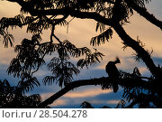 Купить «Hoatzin (Opisthocomus hoazin) perched in tree, silhouetted at dusk, Cuyabeno, Sucumbios, Ecuador.», фото № 28504278, снято 21 августа 2018 г. (c) Nature Picture Library / Фотобанк Лори