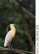 Купить «Capped heron (Pilherodius pileatus) perched on branch, Yasuni National Park, Orellana, Ecuador.», фото № 28504370, снято 17 февраля 2020 г. (c) Nature Picture Library / Фотобанк Лори