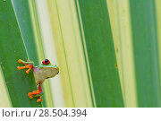 Купить «Misfit / Jumping leaf frog (Agalychnis saltator) looking out from behind leaf, Siquirres, Limon, Costa Rica.», фото № 28504394, снято 21 августа 2018 г. (c) Nature Picture Library / Фотобанк Лори