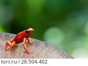 Купить «Little-devil poison frog (Oophaga sylvatica) on plant, Canande, Esmeraldas, Ecuador.», фото № 28504402, снято 21 августа 2018 г. (c) Nature Picture Library / Фотобанк Лори