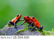 Купить «Three Strawberry poison frogs (Oophaga pumilio) on rock, Sarapiqui, Heredia, Costa Rica.», фото № 28504430, снято 4 декабря 2019 г. (c) Nature Picture Library / Фотобанк Лори