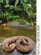 Купить «Northern eyelash boa (Trachyboa boulengeri) curled up on rock by stream, Canande, Esmeraldas, Ecuador.», фото № 28504434, снято 18 июня 2019 г. (c) Nature Picture Library / Фотобанк Лори