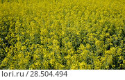 Купить «Picture of rape seed flowers field at sunny day, landscape in Poland», видеоролик № 28504494, снято 22 мая 2018 г. (c) Яков Филимонов / Фотобанк Лори