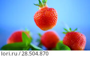 Купить «Ripe red organic strawberry on a blue background», видеоролик № 28504870, снято 1 июня 2018 г. (c) Peredniankina / Фотобанк Лори