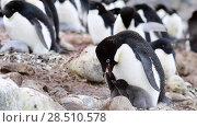 Купить «Adelie Penguin with chicks», видеоролик № 28510578, снято 25 января 2018 г. (c) Vladimir / Фотобанк Лори