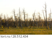 Купить «Россия, Тюменская область, Уватский район. Вымерзший, заболоченный, засушенный сибирским зноем лес, сухостой», эксклюзивное фото № 28512434, снято 23 августа 2006 г. (c) Александр Циликин / Фотобанк Лори