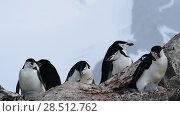 Купить «Chinstrap Penguins on the nest», видеоролик № 28512762, снято 18 января 2018 г. (c) Vladimir / Фотобанк Лори