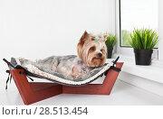 Купить «Yorkshire Terrier lying in the bed of the hammock by the window», фото № 28513454, снято 4 июня 2018 г. (c) Элина Гаревская / Фотобанк Лори