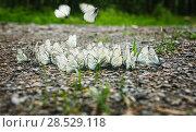 Group of white butterflies. Стоковое фото, фотограф Юрий Бизгаймер / Фотобанк Лори