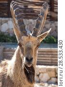 Купить «Close-up of Nubian Ibex (Capra nubiana) in desert, Makhtesh Ramon, Negev Desert, Israel», фото № 28533430, снято 1 января 2017 г. (c) Ingram Publishing / Фотобанк Лори