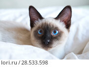 Купить «Young cat, kitten of Siam  oriental breed, bobtail Mekong, lies on bed», фото № 28533598, снято 10 апреля 2017 г. (c) Куликов Константин / Фотобанк Лори
