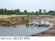 Купить «African elephant herd crossing the Mara River (Loxodonta africana). Masai Mara National Reserve, Kenya.», фото № 28537854, снято 27 марта 2019 г. (c) Nature Picture Library / Фотобанк Лори