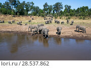 Купить «African elephant (Loxodonta africana) herd crossing the Mara River, Masai Mara National Reserve, Kenya.», фото № 28537862, снято 27 марта 2019 г. (c) Nature Picture Library / Фотобанк Лори