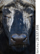 Cape buffalo (Syncerus caffer) male face portrait  Masai Mara National Reserve, Kenya. Стоковое фото, фотограф Anup Shah / Nature Picture Library / Фотобанк Лори