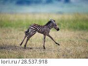 Купить «Common or Plains zebra  (Equus quagga burchellii) young foal running, Masai Mara National Reserve, Kenya.», фото № 28537918, снято 4 августа 2020 г. (c) Nature Picture Library / Фотобанк Лори