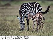 Купить «Common or Plains zebra  (Equus quagga burchellii) female and foal, Masai Mara National Reserve, Kenya.», фото № 28537926, снято 4 августа 2020 г. (c) Nature Picture Library / Фотобанк Лори