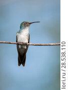 Купить «Female mangrove hummingbird - Mangrove hummingbird (Amazilia boucardi) female resting, perched on twig, Pacific coast mangroves area, Costa Rica, Endangered species.», фото № 28538110, снято 17 июля 2019 г. (c) Nature Picture Library / Фотобанк Лори