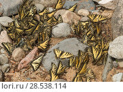Купить «Eastern tiger swallowtail butterflies (Papilio glaucus) puddling, New Brunswick, Canada, June.», фото № 28538114, снято 19 августа 2018 г. (c) Nature Picture Library / Фотобанк Лори