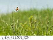 Купить «Monarch butterfly (Danaus plexippus) male, migrating North, Anchorage Provincial Park, Grand Manan Island, New Brunswick, Canada, June.», фото № 28538126, снято 18 июля 2018 г. (c) Nature Picture Library / Фотобанк Лори