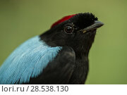 Купить «Long-tailed manakin (Chiroxiphia linearis) male, portrait, Nicoya Peninsula, Costa Rica.», фото № 28538130, снято 26 марта 2019 г. (c) Nature Picture Library / Фотобанк Лори