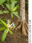 Mangrove hummingbird (Amazilia boucardi) female feeding on Tea mangrove (Pelliciera rhizophorae) flower, Pacific coast mangroves, Nicoya Peninsula, Costa Rica, Endangered species. Стоковое фото, фотограф Nick Hawkins / Nature Picture Library / Фотобанк Лори