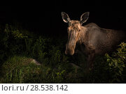 Купить «Moose (Alces alces) at night, photographed by a camera trap, New Brunswick, Canada, June.», фото № 28538142, снято 23 июля 2018 г. (c) Nature Picture Library / Фотобанк Лори