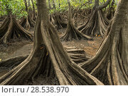 Купить «Tea mangroves (Pelliciera rhizophorae) Pochote Estuary, Costa Rica. Vulnerable species.», фото № 28538970, снято 16 июля 2018 г. (c) Nature Picture Library / Фотобанк Лори
